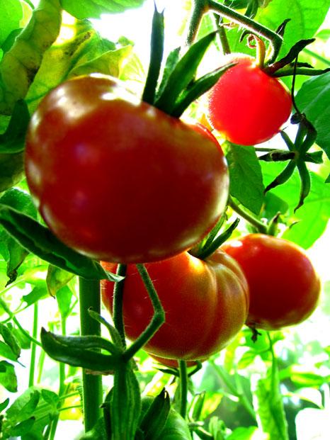 tomaten samen kumato red euro tomatensamen 10 korn. Black Bedroom Furniture Sets. Home Design Ideas