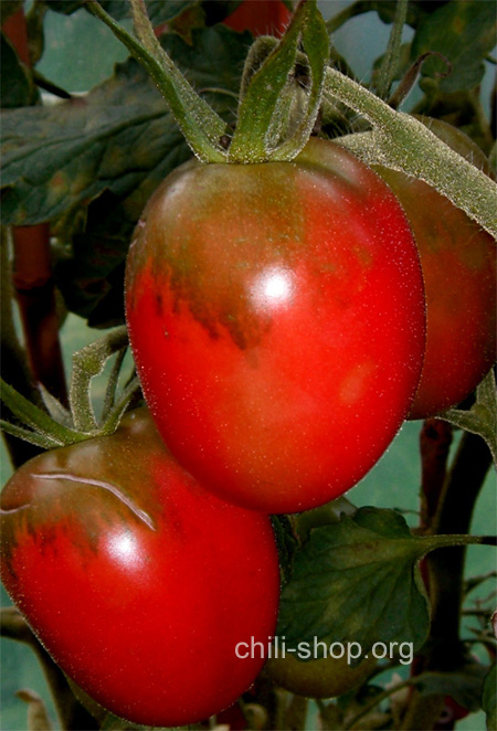 tomate rot 4 meter tomate blaue tomaten samen kaufen. Black Bedroom Furniture Sets. Home Design Ideas