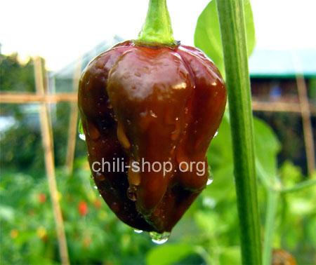 chili samen bhut jolokia black 2 chili samen kaufen chili seeds im shop chili. Black Bedroom Furniture Sets. Home Design Ideas