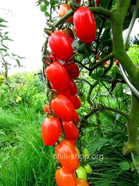 tomate rot datteltomate blaue tomaten samen kaufen chili. Black Bedroom Furniture Sets. Home Design Ideas