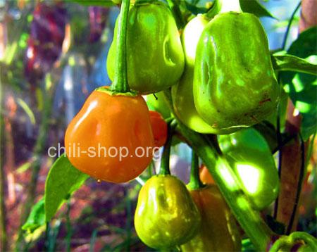 chili samen kaufen habanero gelb chili samen kaufen chili seeds bestellen. Black Bedroom Furniture Sets. Home Design Ideas