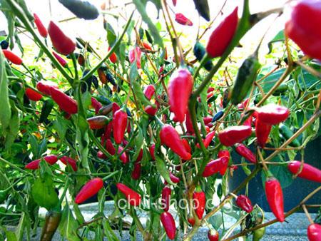 chili samen kaufen piri piri tomaten samen kaufen chili seeds bestellen. Black Bedroom Furniture Sets. Home Design Ideas