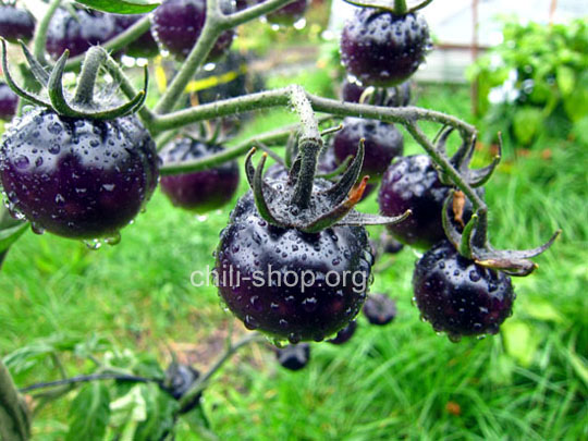 blaue tomate blueberry blaue tomate kaufen chili seeds im shop chili. Black Bedroom Furniture Sets. Home Design Ideas